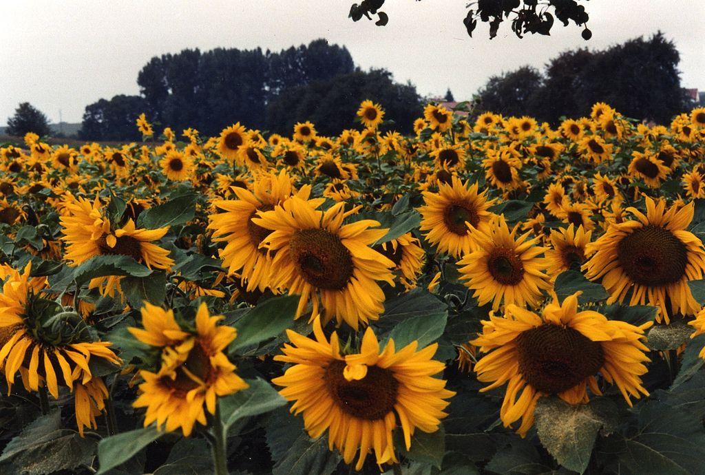 Zodia Floarea soarelui