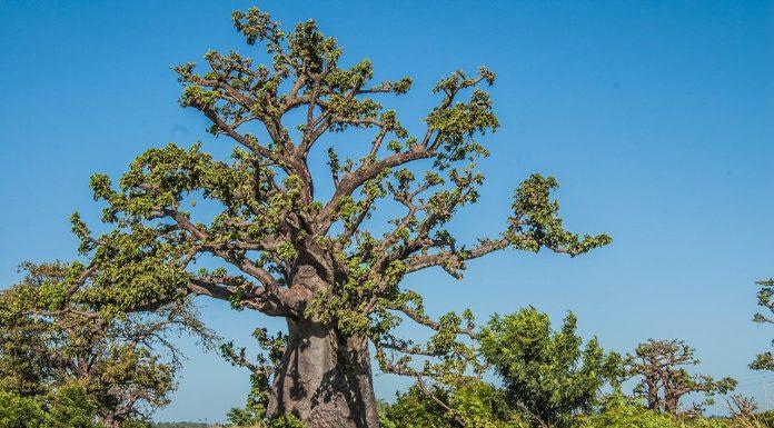 Interpretare vis in care apare baobab