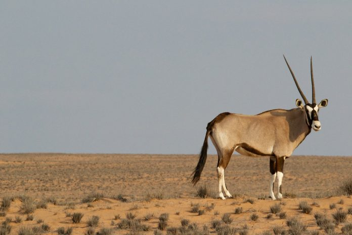 Interpretare vis in care apare o antilopa