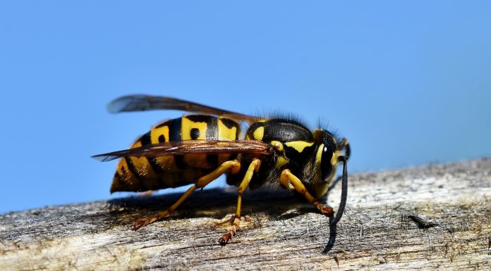 Interpretare vis in care apare o viespe