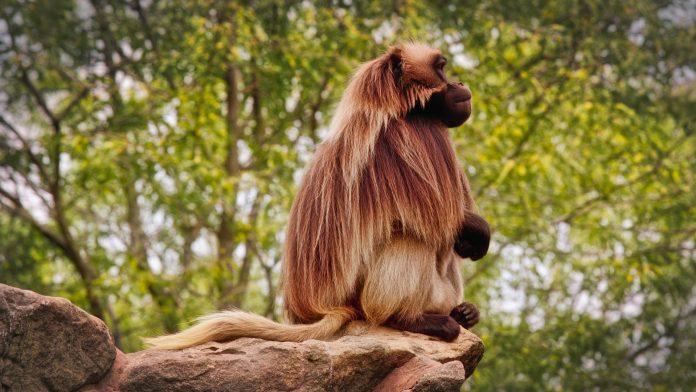 Interpretare vis in care apare un babuin