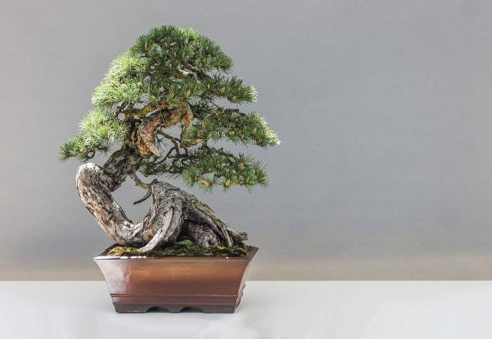 Interpretare vis in care apare un bonsai