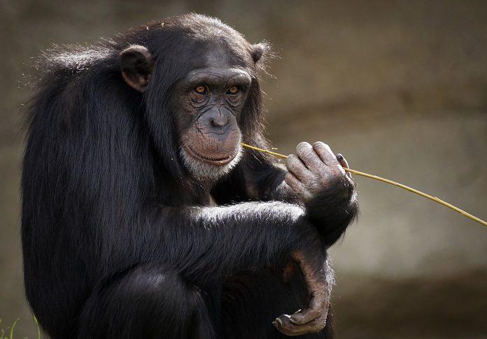 Interpretare vis in care apare un cimpanzeu