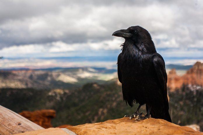 Interpretare vis in care apare un corb
