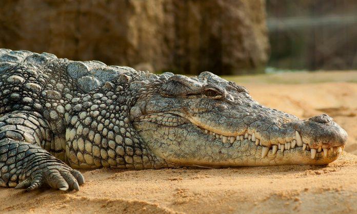 Interpretare vis in care apare un crocodil