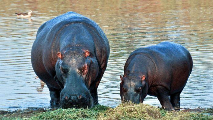 Interpretare vis in care apare un hipopotam
