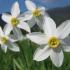 Narcisa Sursa: aprilcherryflower.blogspot.com