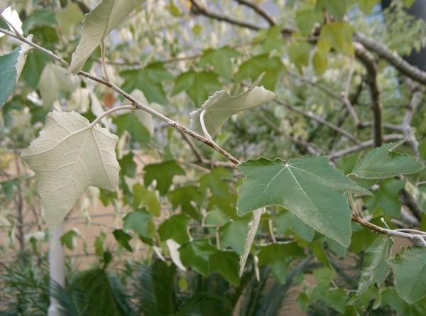 Plop Sursa: vegetatiaforestiera.blogspot.com