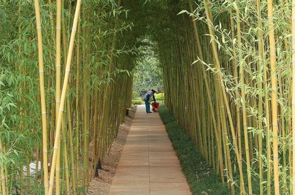 Un bambus Sursa: turambarr.blogspot.com