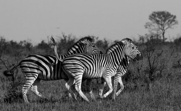 Zebra Sursa: blog.londolozi.com