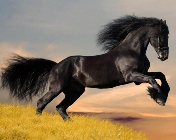 Cal negru, Foto: ampurdanet.blogspot.ro