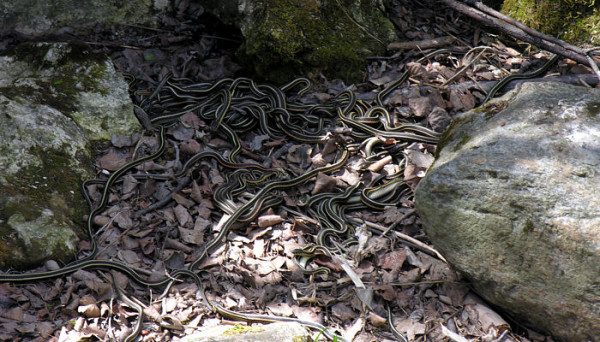 Multi serpi pe sol, Foto: naturenorth.com