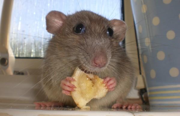 Soarece in casa, Foto: spoiled-rats.webs.com