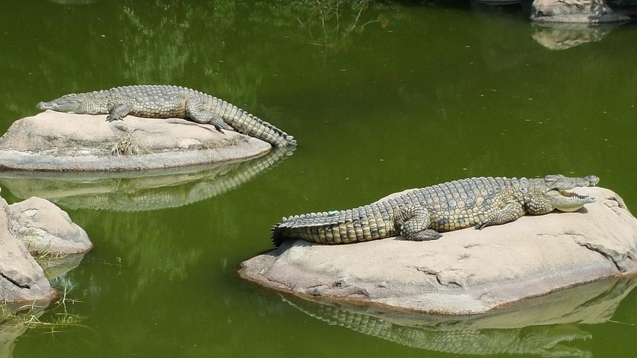 traversezi un rau cu crocodili