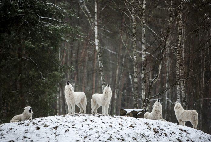 Interpretare vis in care vezi lupi