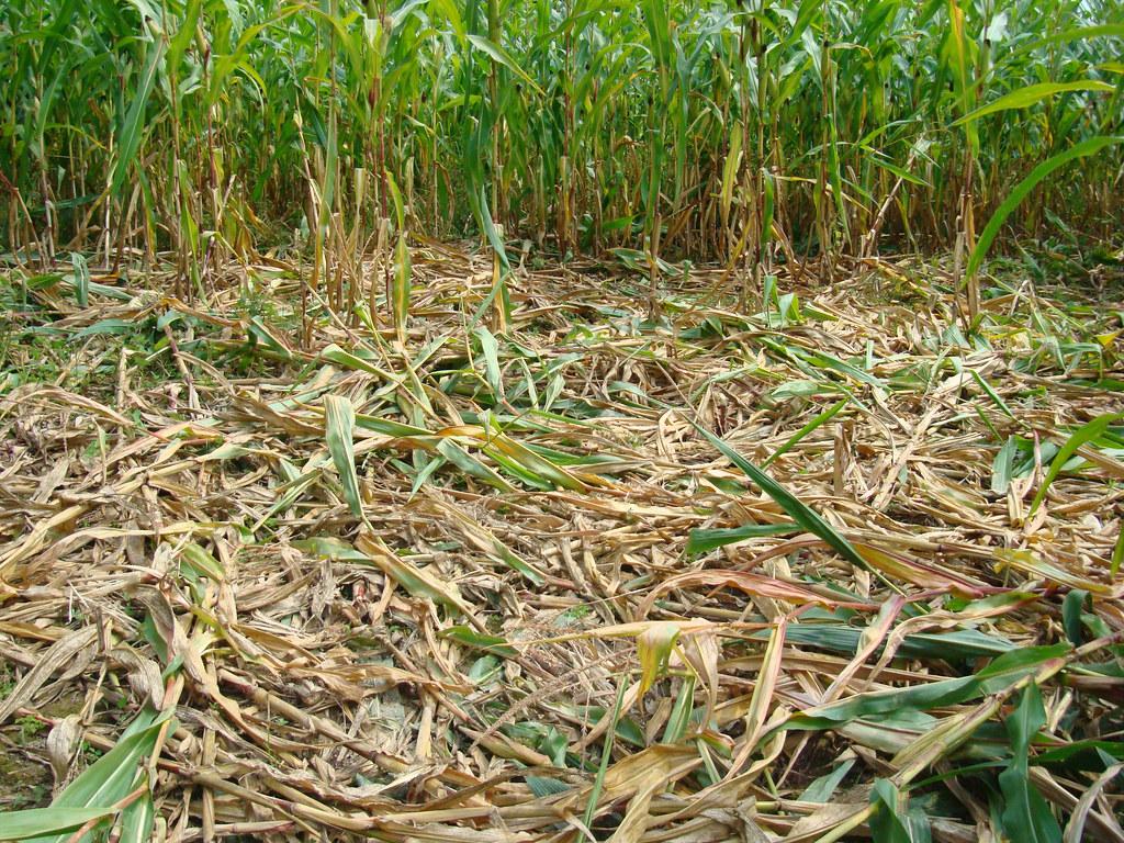 culturi agricole distruse