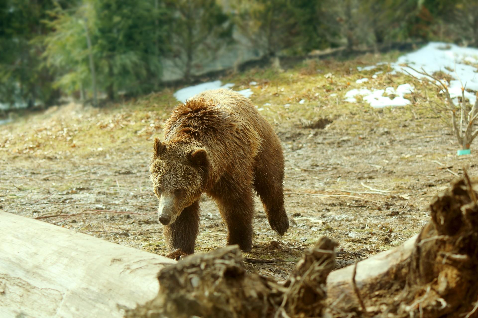 fugi de un urs