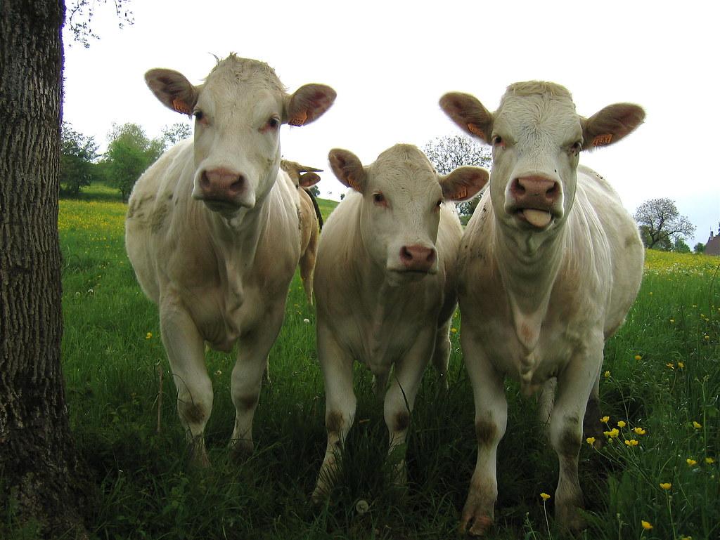 grup de vacute care se uita la tine