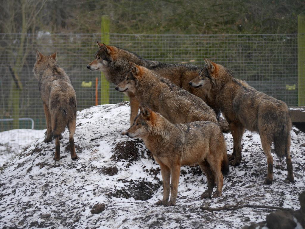 haita de lupi