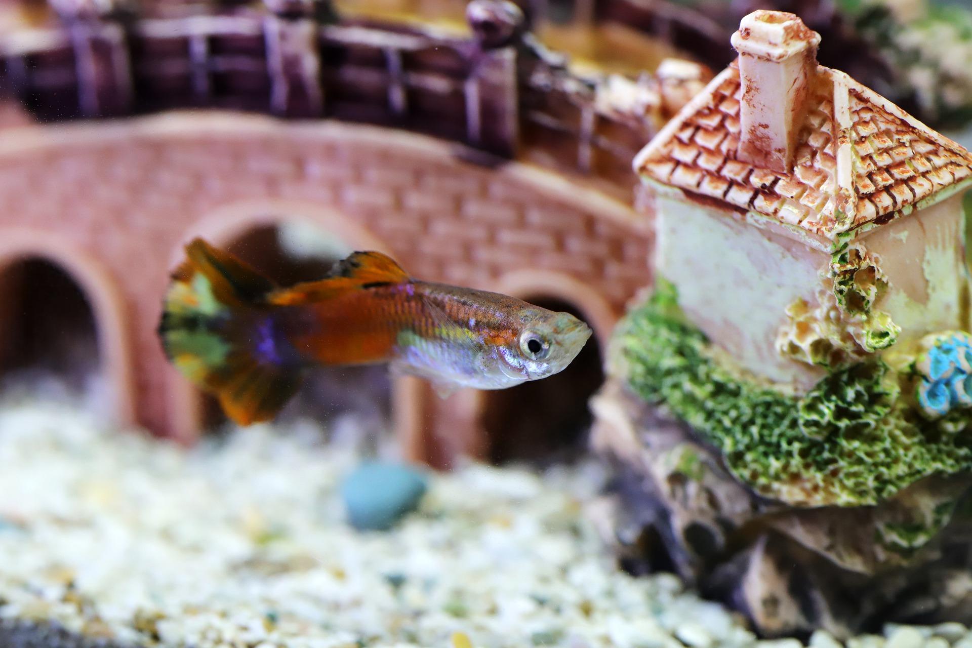 pestisor in acvariu